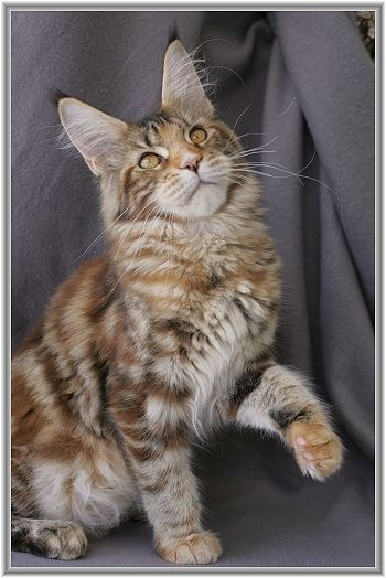 Maine Coon, black torti tabby blotched (f 22). Big Giants Resort's Mayflower