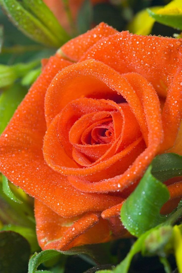 Beautiful orange rose.