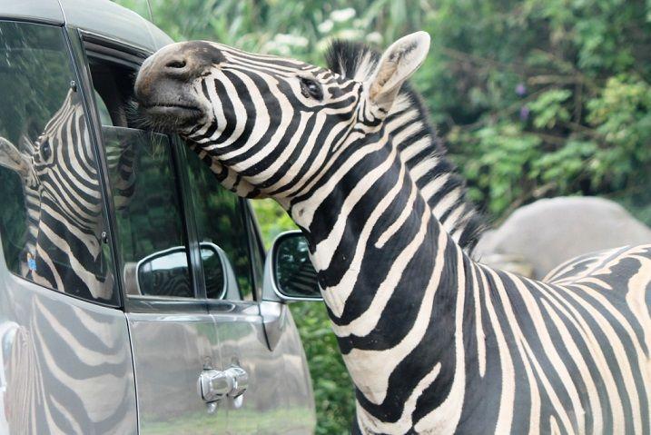 Feeding Animals at Taman Safari Indonesia
