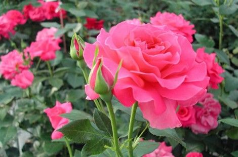 Plantar rosales a raíz desnuda