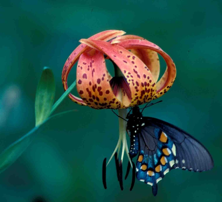 82 best native kentucky plants images on pinterest