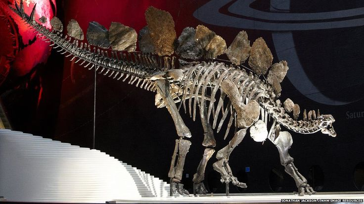 Sophie Stegosaurus Skeleton. Researchers want to investigate the iconic plates, the how, purpose and other.
