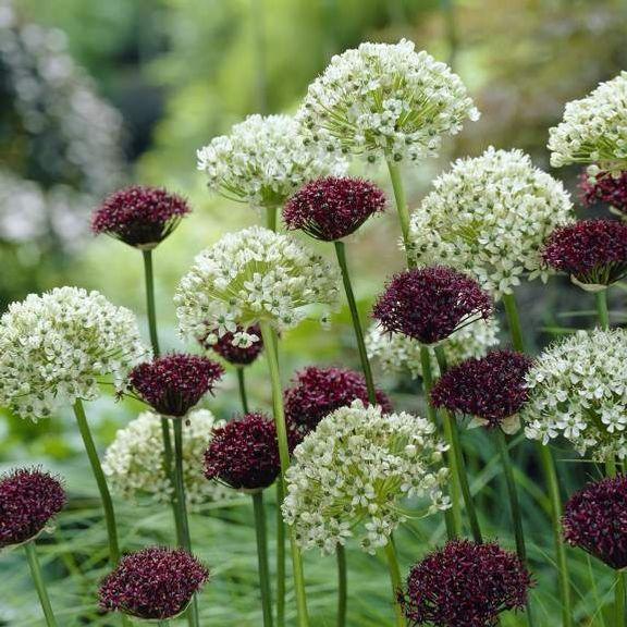 Att kombinera två sorters allium kan bli väldigt raffinerat. Här Allium atropurpureum och Allium nigrum