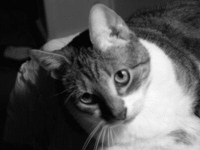 Long-term Medical Management of Feline Chronic Renal Failure   Dr. Arnold Plotnick   Feline Articles