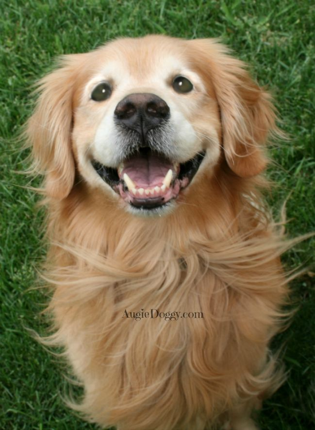 This smile is for YOU! #goldenretriever