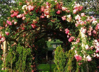 Обильное цветение роз