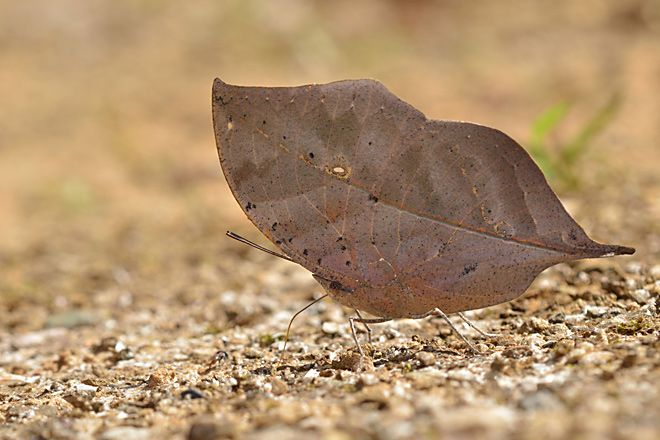 Dead leaf butterfly amazing camouflage
