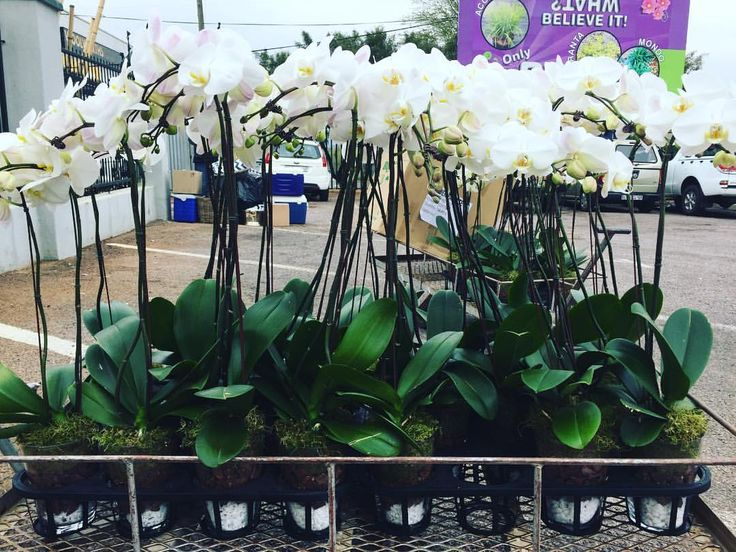 """67 Likes, 1 Comments - Marvellous Orchid (@marvellousorchid) on Instagram: """"Potted and ready to go! Beautiful orchids for the most amazing wedding! 😽👰 🤗💕💕💕 @marvellousorchid…"""""""