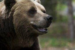 Обои Медведи Бурые Медведи Морда Животные