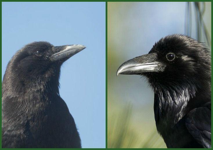birdnote q&a: crow or raven? - A Way To Garden