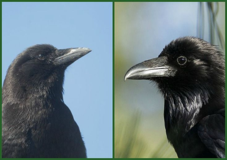 birdnote q&a: crow or raven? - A Way To Garden.  I love crows.  They are so smart and fun to watch!