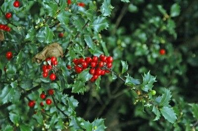 Proper Care For Holly Shrubs – Tips For Growing A Holly Bush