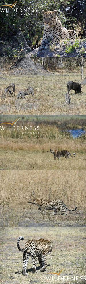 We Are Wilderness - Meet 'Pudge' the resident bushpig at DumaTau, plus meet the luckiest sounder of warthogs too...Click on the image for the full story.
