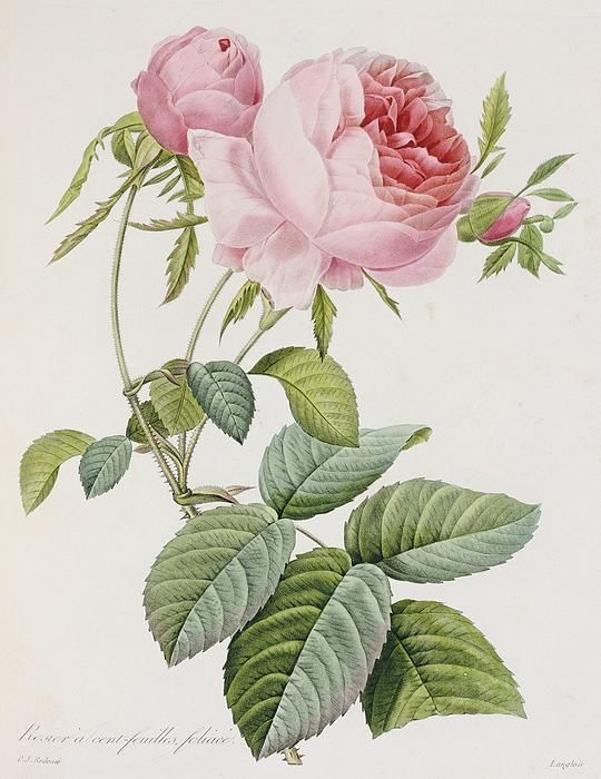 Rose by Pierre Joseph Redoute #botanical #print