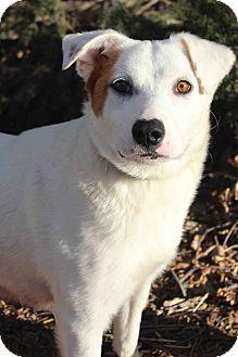 Westminster, CO - Australian Shepherd Mix. Meet MUZZIE, a dog for adoption. http://www.adoptapet.com/pet/17833727-westminster-colorado-australian-shepherd-mix