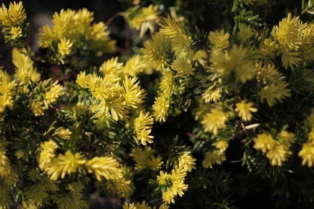 1月28日の誕生日の木は「オウゴンキャラボク(黄金伽羅木)」です。  イチイ科イチイ属の常緑小低木。新潟県鳥海山から鳥取県大山までを原産地とするイチイの変種「キャラボク(伽羅木)」の園芸品種です。 オウゴンキャラボクの名前の由来は、その葉が鮮やかな黄色(黄金色)になることから。別名をキンキャラ(金伽羅)、キンメキャラボク(金芽伽羅木)といいます。尚、キャラボクは、インド原産の香木「キャラ(伽羅)」とは無関係ですが、材にキャラに似たかすかな香りがあるためにキャラボクと名づけられました。