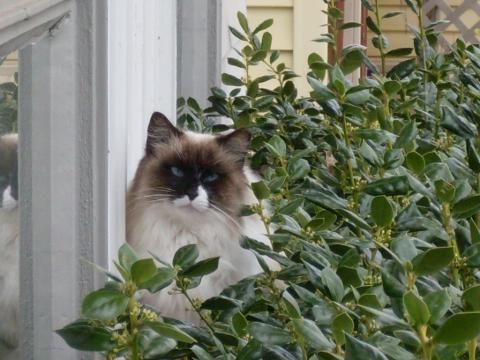 Ragdoll cat rescue groups