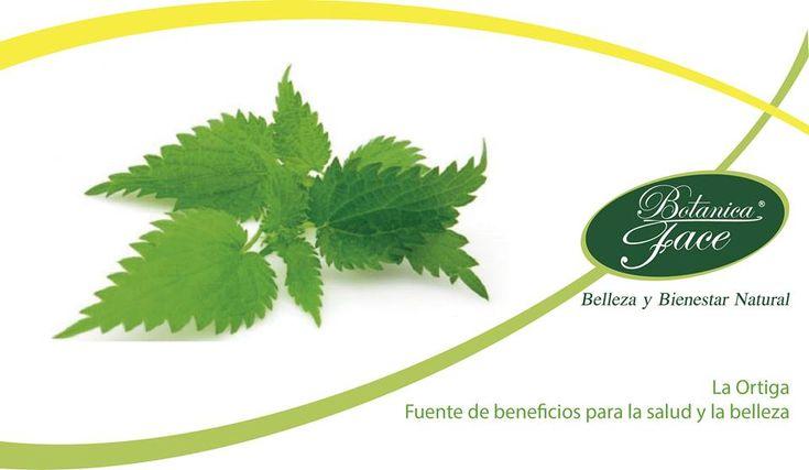 """La Ortiga es una gran fuente de beneficios para la salud ya que contiene gran cantidad de nutrientes necesarios para nuestro organismo.  Esta planta, conocida por muchos como """"mala hierba"""" se ha utilizado desde la antigüedad para aliviar diferentes dolencias y hoy en día es un ingrediente habitual usado en medicina."""
