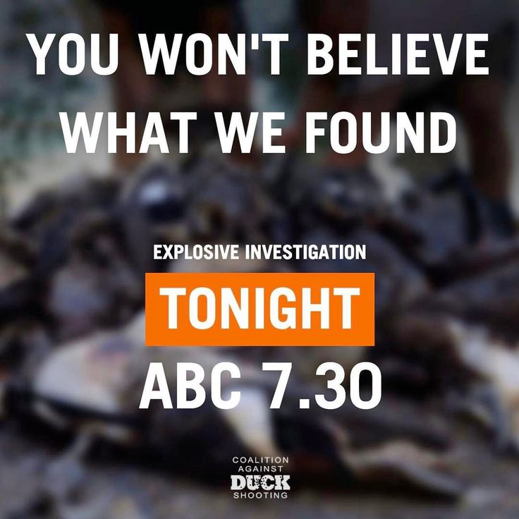 Via our friends at @duckrescue: The opening to the duck shooting season was a massacre. But the days after were even more shocking. Tune in to 7.30 on ABC tonight to see what we found. #BanLiveExport #crueltyisnotsport #ShootingisNotConservation