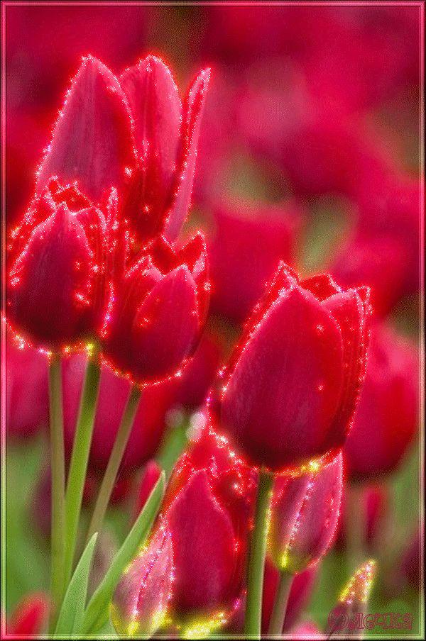 Открытки тюльпаны гифки