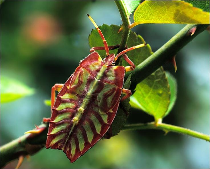 Картинки по запросу sagra chrysomelidae