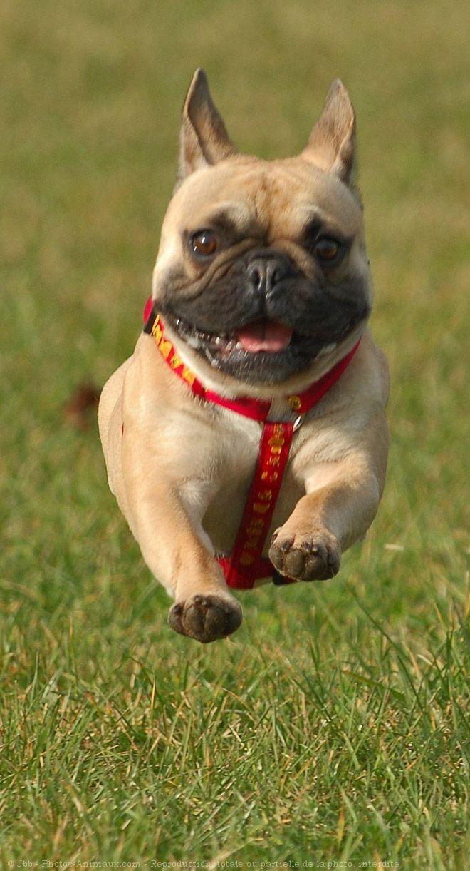 bulldog français, French Bulldog, français nourriture pour bouledogue français bouledogue français