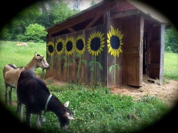 Sunflowers Painted On The Goat Barn Side 2 Sunflowers