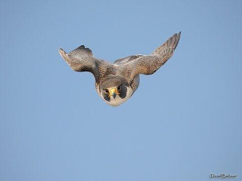Falcó pelegrí - Falco peregrinus- Halcón peregrino - El Proyectil Viviente
