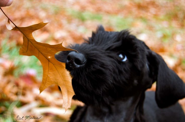 Two of my favorites, Fall & giant schnauzers.