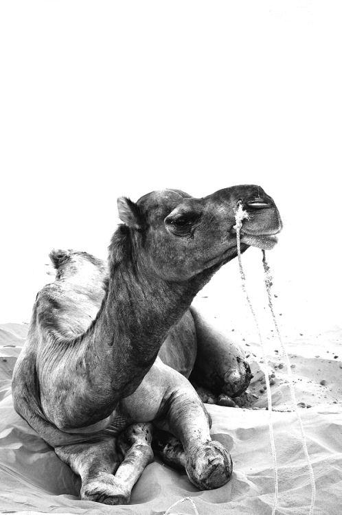 #Camel #Animals #BW
