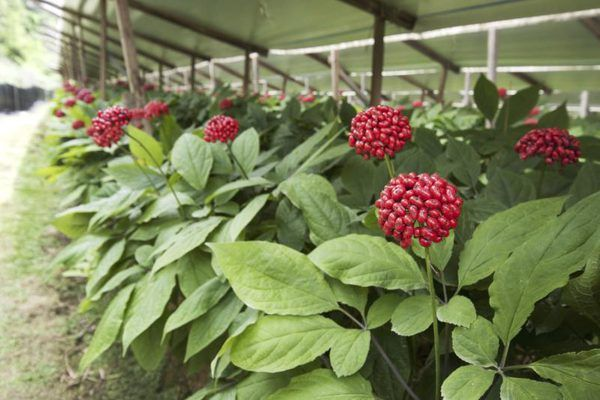 Ginseng plants growing on a farm.