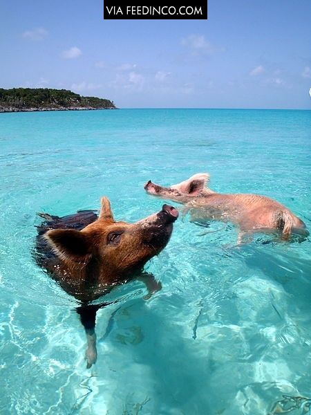 Swimming pigs from Major Cay, an island in the Bahamas inhabited only by pigs.
