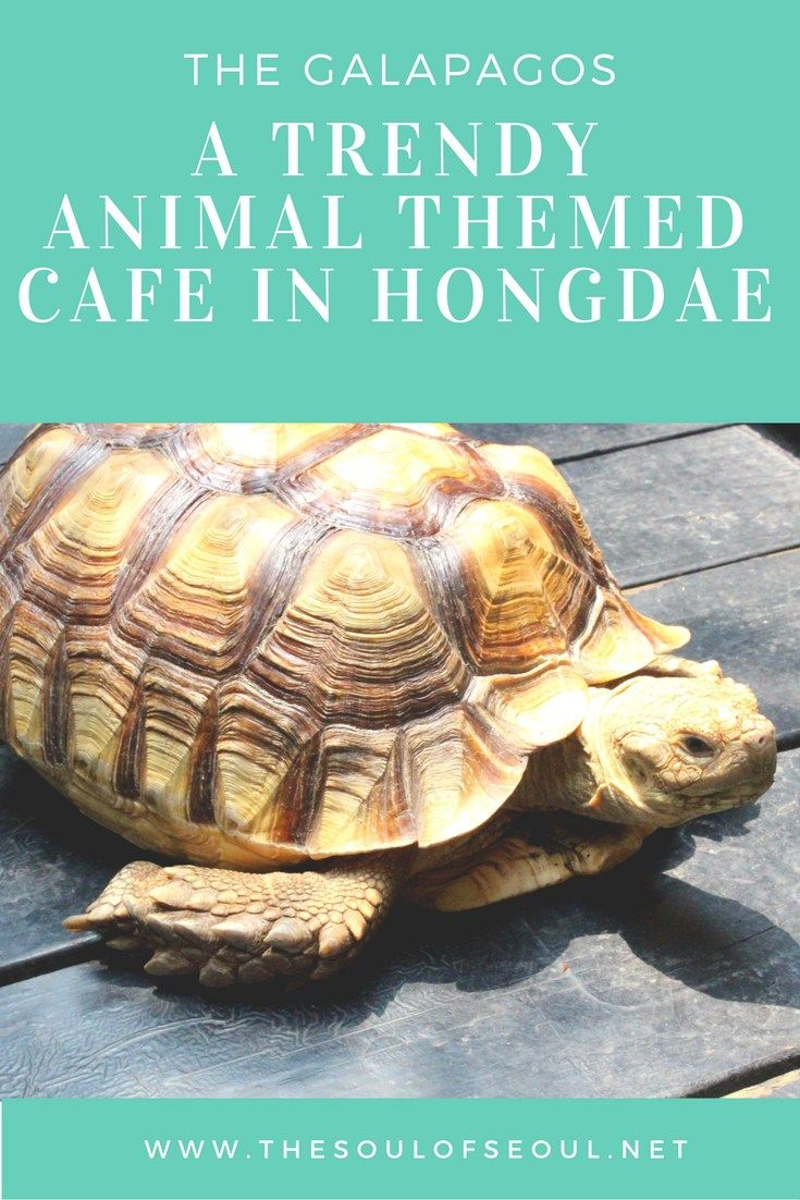 The Galapagos: A Trendy Animal Themed Cafe in Hongdae. This themed cafe in Seoul is more chic and styled than most themed cafes but still has the cool animals to visit. Visit with children, family or friends to this fun animal themed cafe.