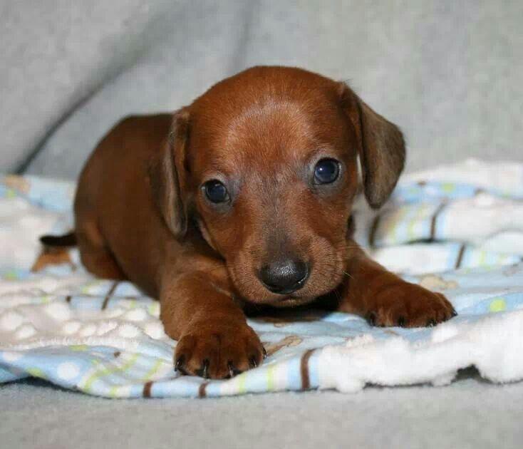 Dachsund puppy! Dachshund puppy miniature, Dachshund
