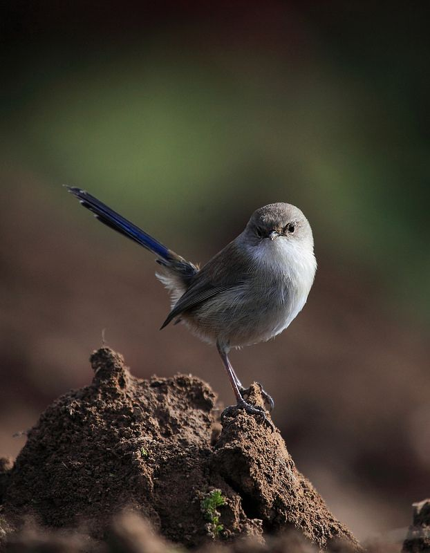 The cute-as-pie Fairy Wren found near Marysville, Victoria. Great photo by Donovan Wilson. Find out more about the wildlife at www.marysvilletourism.com/visit-marysville-apps