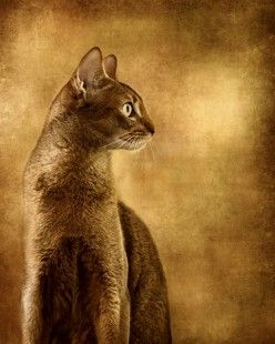 My first pedigreed cat looked just like this regal Abyssinian! I miss him ...