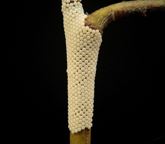 Macro pictures of Butterfly Eggs
