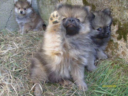 Pick me! Pick me! Adorable Keeshond puppies
