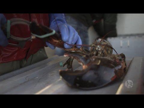 Lobster Fishing - Meteghan, Nova Scotia - YouTube
