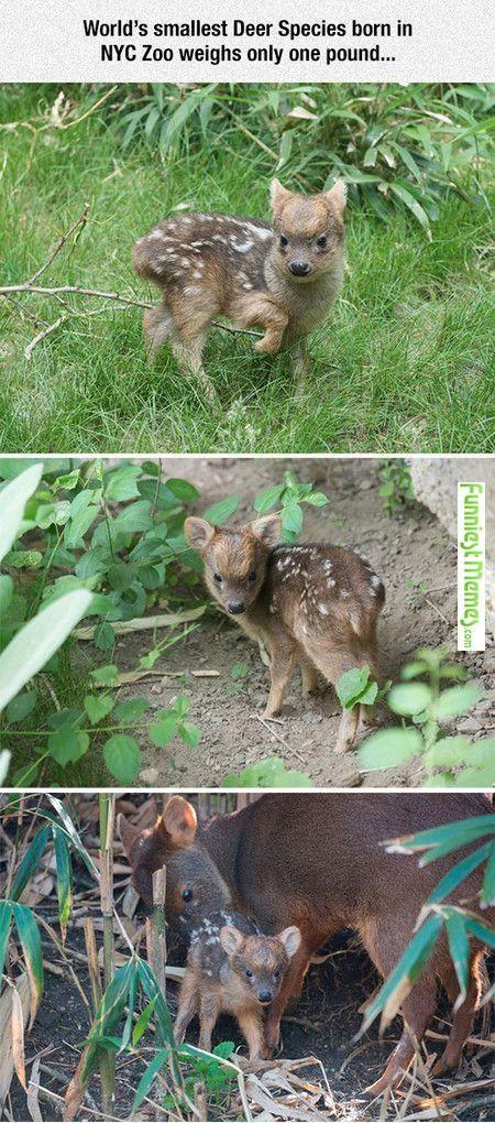 World's smallest deer species. Cute!