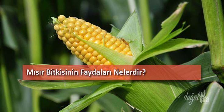 Doğal şifalı bitkiler arasında olan mısır, buğdağbiller familyasından olup; bir yıllık otsu bitkidir. 1,5-3 metre arasında boya sahip olabilir. Yavaş yavaş uca doğru sivrilen yaprakları, uzun ince mızrak şeklindedir.Çocuklarda böbrek sorunlarının atl...