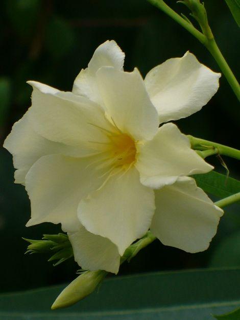 11 best images about fragrant oleander varieties on. Black Bedroom Furniture Sets. Home Design Ideas