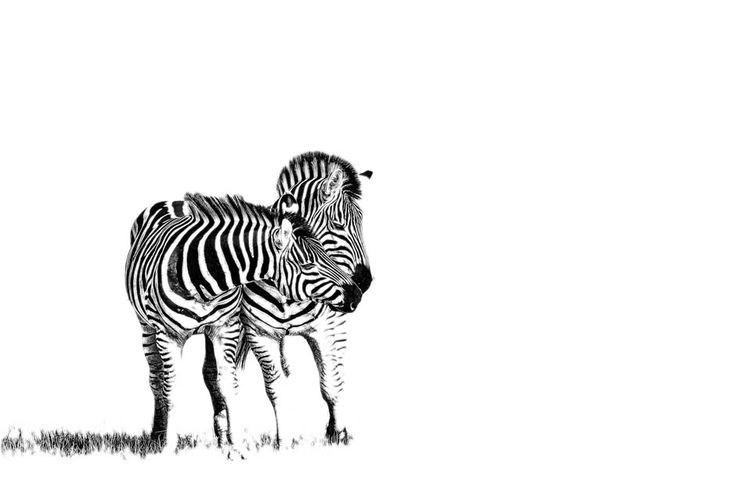 Zebra print in black and white