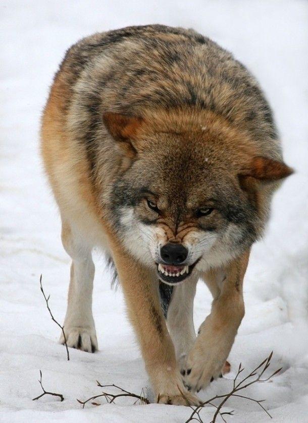 Eurasian Wolf  #animal #eurasian #wolf