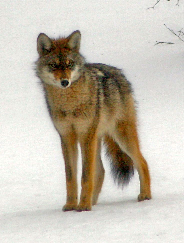 304 Best Coywolves, Coyotes, Eastern Coyotes Images On