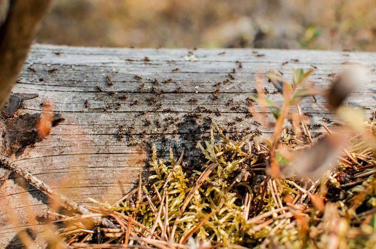 """Muurahaiset työn touhussa ©K: """"Muurahaiset häärivät pesän vierellä keväisessä metsässä."""""""
