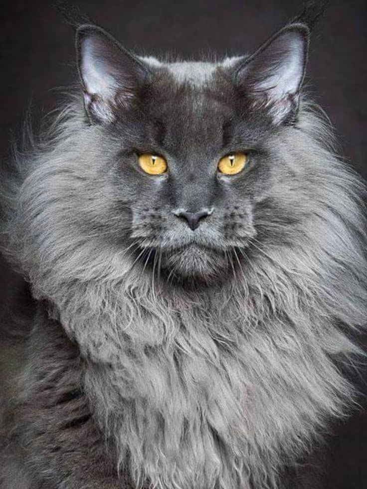Maine Coone charcoal grey Maine Coone Maine coon cats