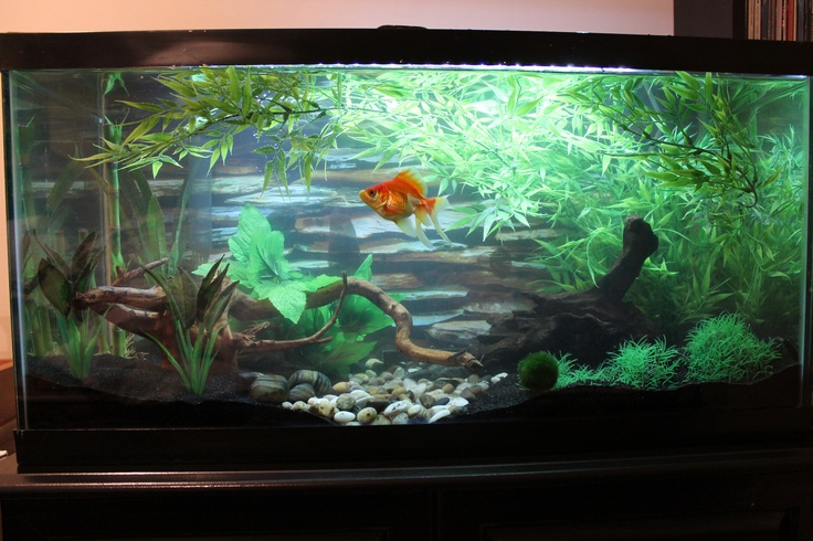 77 best goldfish and koi images on pinterest for Koi fish aquarium