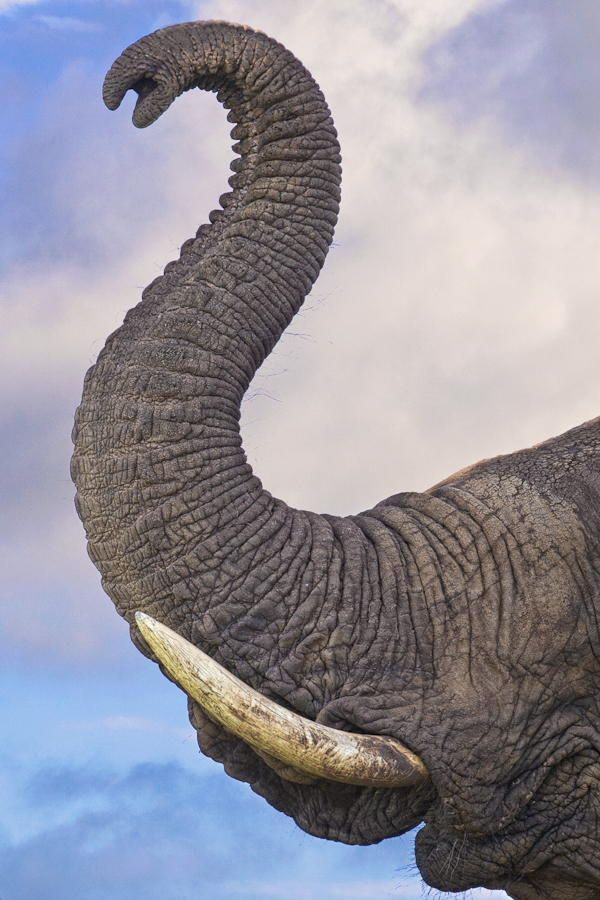 An artistic curl of an Elephant trunk captured in Kruger National Park in South Africa.