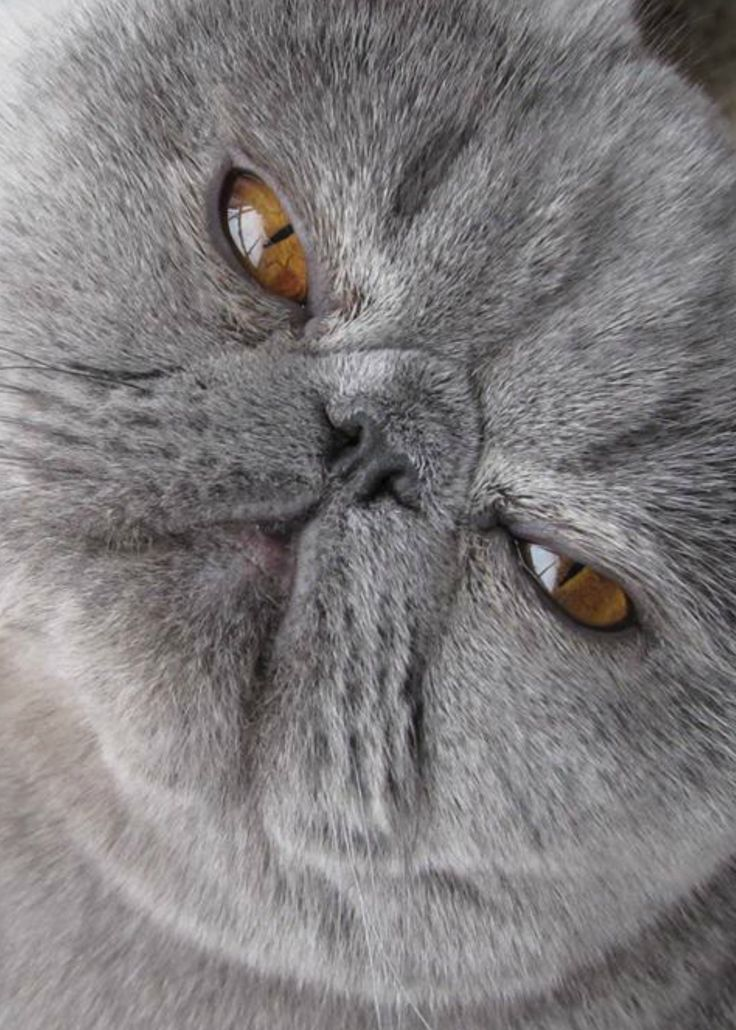 This SquishyFaced Cat Really Doesn't Even Look Real